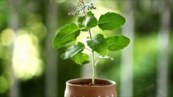Benefits of Tulsi plant